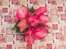 Красная рождественская открытка цветка poinsettia стоковая фотография rf
