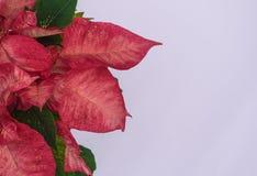 Красная рождественская открытка цветка poinsettia стоковое фото rf
