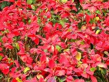Красная рождественская елка Стоковая Фотография