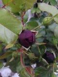 Красная роза бутона Стоковые Изображения RF