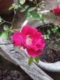Красная роза в баке стоковые фотографии rf