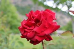 Красная роза в Болгарии в комплексе Rupite Стоковые Фотографии RF