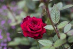 Красная роза в выставке цветов 2019 Гонконга стоковые фотографии rf
