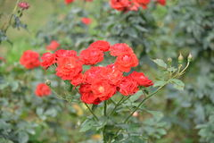 Красная роза в дереве Стоковые Фотографии RF