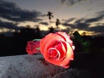Красная роза в заходе солнца Стоковое фото RF