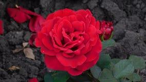 Красная роза в осени стоковые изображения rf