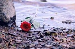 Красная роза в песке на береге Стоковые Изображения