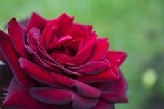 Красная роза в природе, wedding подняла стоковые изображения rf