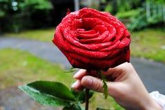Красная роза в руке Стоковая Фотография