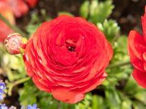 Красная роза в саде стоковое изображение
