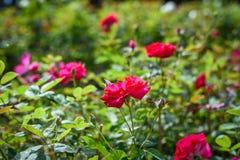 Красная роза в саде с мягким светом стоковое изображение rf