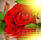 Красная роза в саде Стоковые Фотографии RF