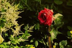 Красная роза в саде на заходе солнца Стоковая Фотография RF