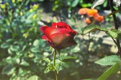 Красная роза в саде на заходе солнца Стоковые Фотографии RF