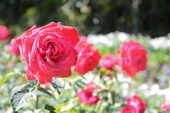 Красная роза в саде Стоковые Изображения