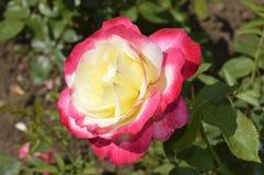 Красная роза в цвете 2 Стоковая Фотография