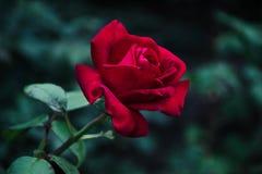 Красная роза в Kamenskoe Украине Стоковые Фотографии RF