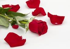 Красная роза и лепестки розы вокруг Стоковые Изображения