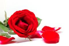 Красная роза и лепестки на белой предпосылке Красивое цветение с лепестком бархата Шаблон знамени цветка горячего пинка Стоковое Изображение