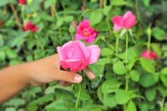 Красная роза красивая в руке стоковые фото