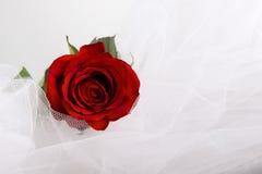 Красная роза, красивая красная роза с капельками воды после дождя в предпосылке нерезкости, селективном фокусе к середине. Контрас Стоковое Изображение