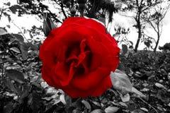 Красная роза крови в черно-белой листве Стоковые Изображения RF