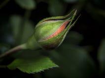 Красная роза крытого цветка малая Стоковая Фотография RF