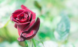 Красная роза макроса крупного плана красивая стоковое изображение