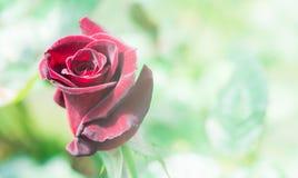 Красная роза макроса крупного плана красивая стоковые изображения rf