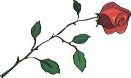 Красная роза, на белизне Стоковые Изображения RF