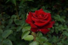 Красная роза на ветви с зелеными листьями Стоковое Изображение