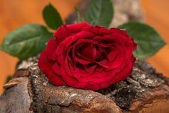 Красная роза на древесине дуба Стоковое фото RF