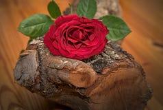 Красная роза на древесине дуба Стоковое Фото