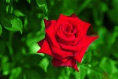 Красная роза на зеленой предпосылке leavesnature Стоковое фото RF