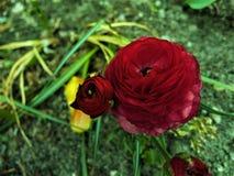 Красная роза на зеленых предпосылке/красной розе на день матерей Стоковая Фотография