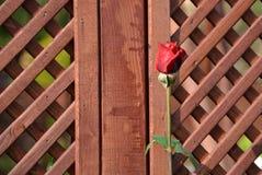 Красная роза на предпосылке деревянной загородки Стоковые Изображения RF