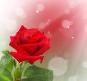 Красная роза на предпосылке bokeh Стоковое Изображение