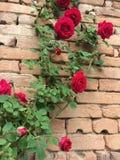 Красная роза на старой кирпичной стене Стоковые Изображения RF