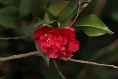 Красная роза на стержне с листьями и ветвями стоковая фотография