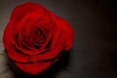 красная роза на темной предпосылке Стоковые Фото