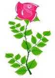 Красная роза на черенок длинного зеленого цвета Стоковое Изображение RF