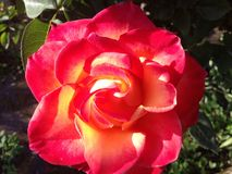 Красная роза огня красивая Стоковые Фото