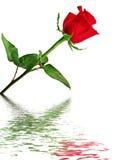 Красная роза отраженная в воде Стоковое Изображение RF