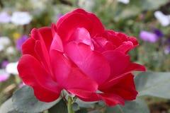 Красная роза от болгарской фермы стоковая фотография