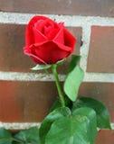 Красная роза перед кирпичной стеной Стоковые Фото