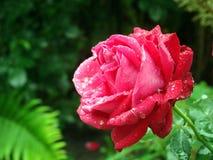 Красная роза после дождя Природа Украина Стоковое Фото