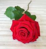 Красная роза подробно Стоковая Фотография