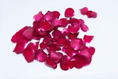 Красная роза предпосылок крупного плана на белых предпосылках Стоковые Фотографии RF