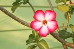 Красная роза пустыни, adenium стоковое фото