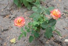 Красная роза растя в треснутой земле Стоковое фото RF